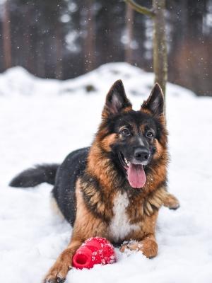 Koira makaa lumihangessa